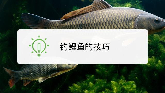 秋季鱼塘钓鲤鱼视频_鲤鱼怎么钓呢-百度经验